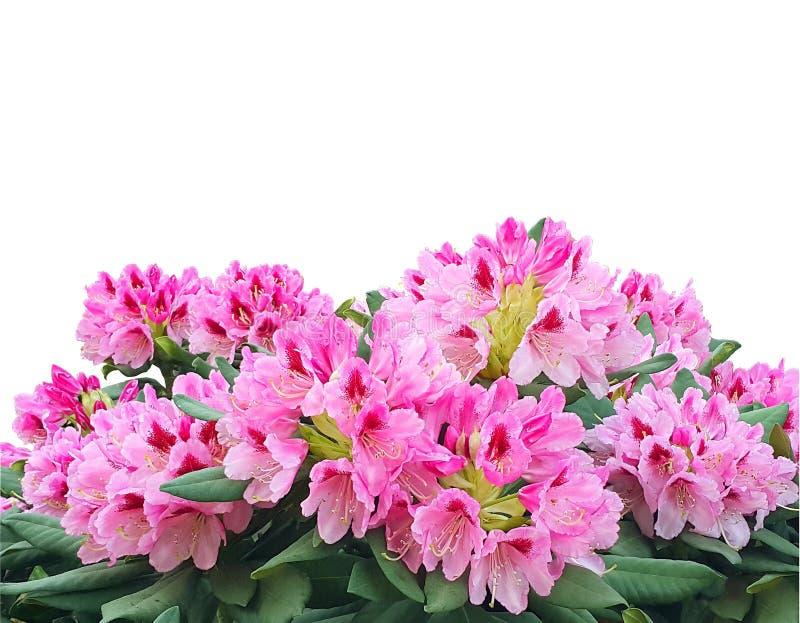 Blommande rosa azalea- eller rhododendronblommor som isoleras på vit b royaltyfri foto