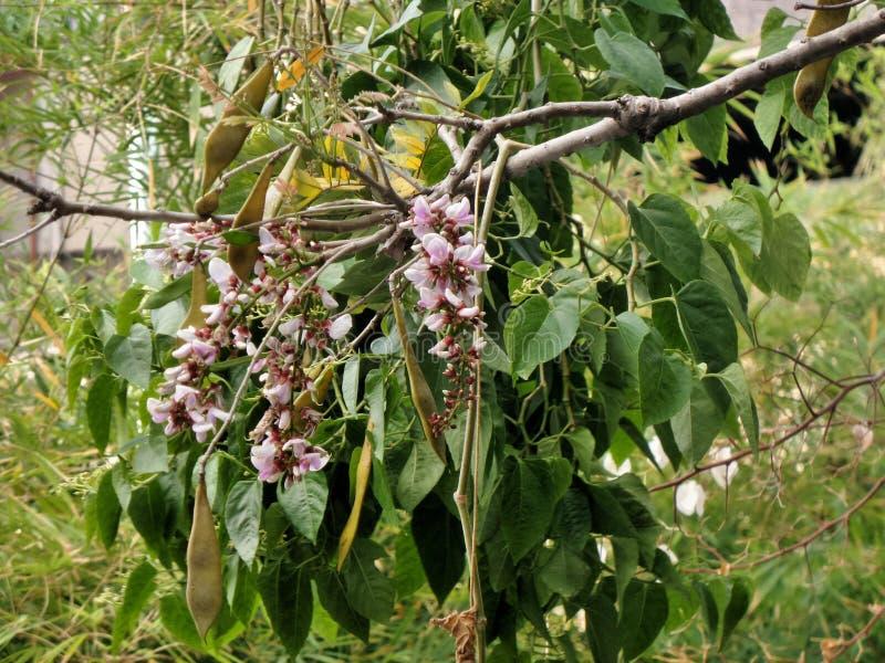 Blommande rosa färgblomma på stort högväxt träd royaltyfri foto