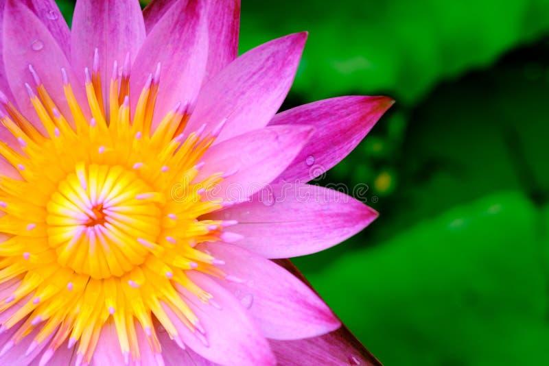 Blommande rosa färger för Closeup waterlily eller naturlig backgrou för lotusblommablomma royaltyfria foton