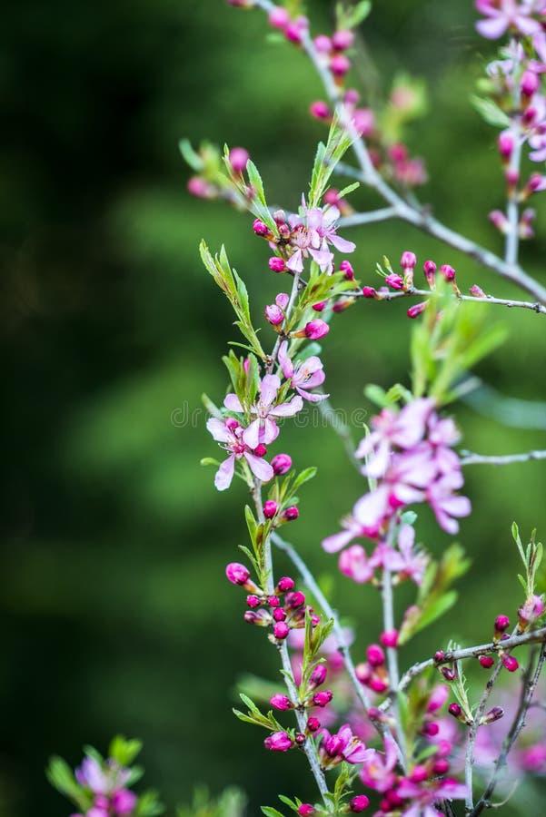 Blommande rosa färger ställa i skuggan mandelträdet i trädgården, sommartid royaltyfri foto