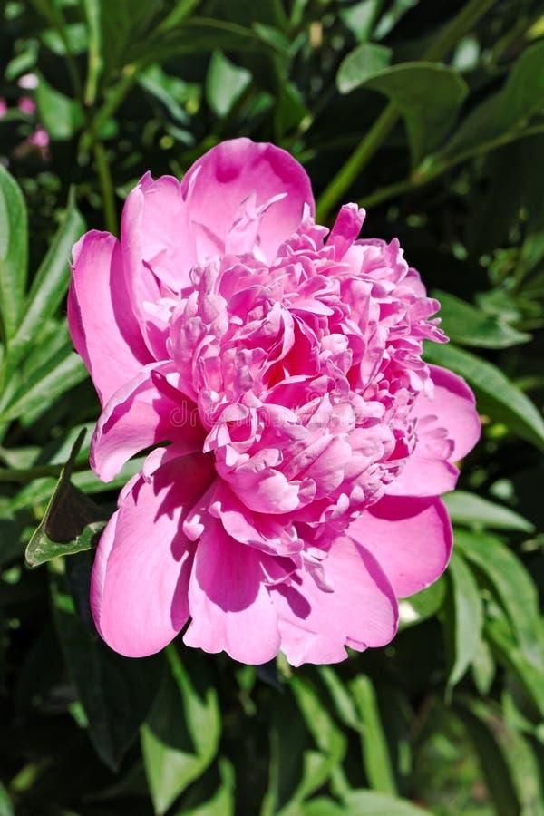 Blommande rosa pionblomma royaltyfri bild
