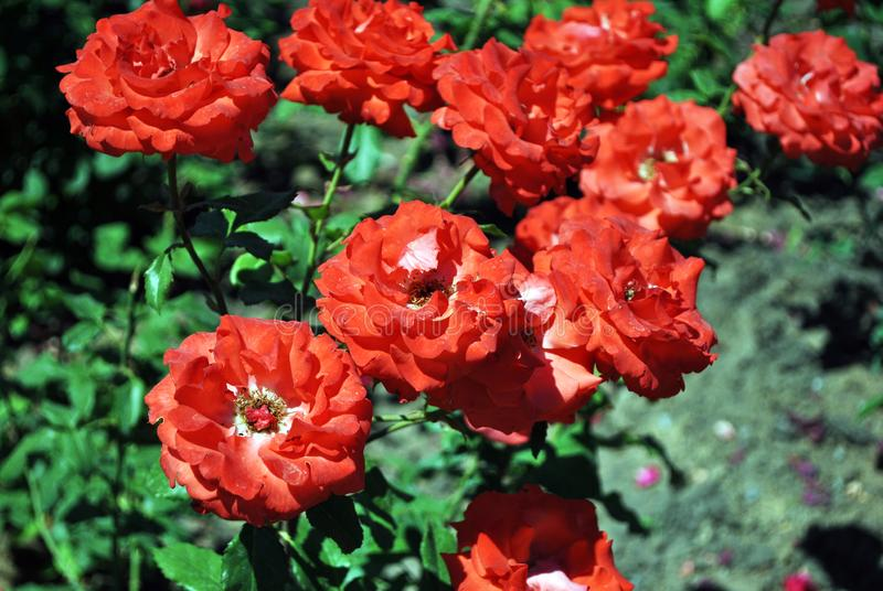 Blommande rosbuske, ljusa blommor för röd korall som är nära upp detaljen fotografering för bildbyråer