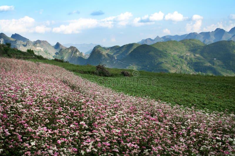 Blommande säsong i Hagiang, Vietnam fotografering för bildbyråer