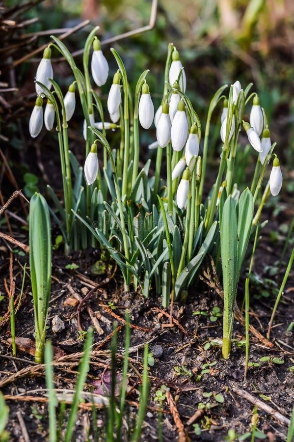Blommande snödroppar arkivbild