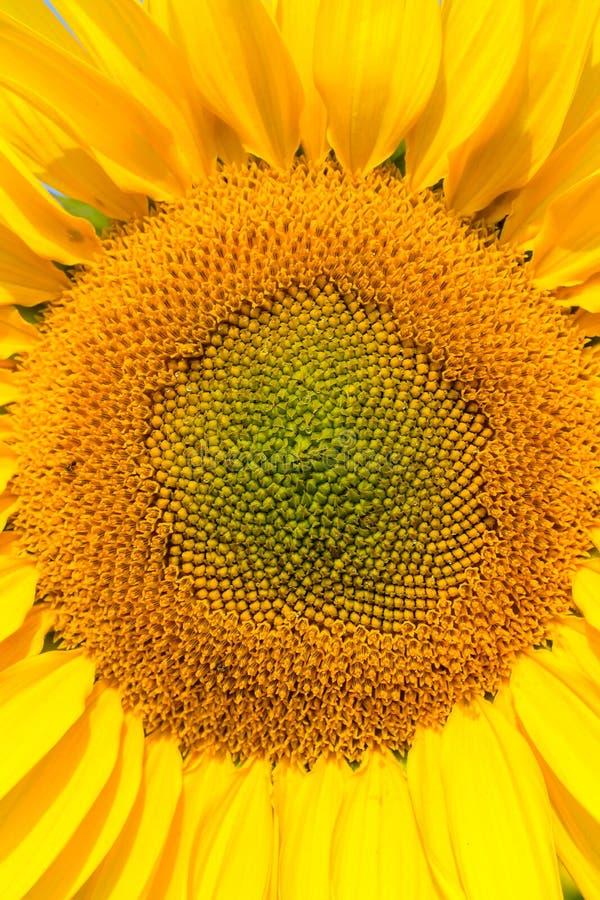 Blommande solrosnärbildsikt, helianthusbakgrund royaltyfri foto
