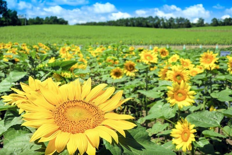 Blommande solrosor i ängen under härlig blå himmel royaltyfri bild