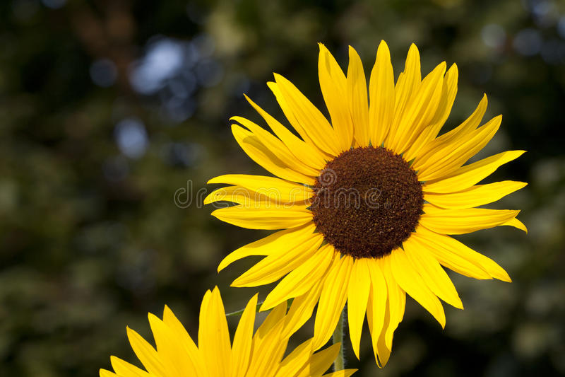 Blommande solrosor med grönskabakgrund arkivfoton