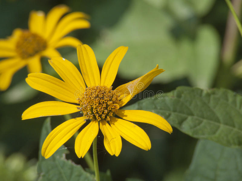 Blommande solrosor med grönskabakgrund arkivbild