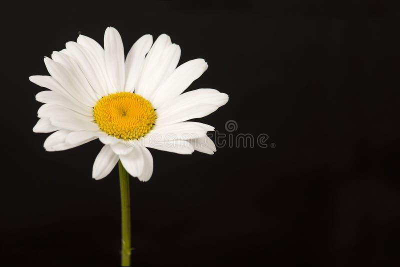 Blommande stor vit tusensköna på en svart bakgrund royaltyfria bilder