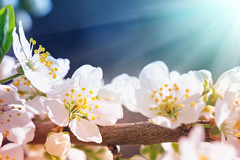 Blommande träd för lös plommon arkivfoton