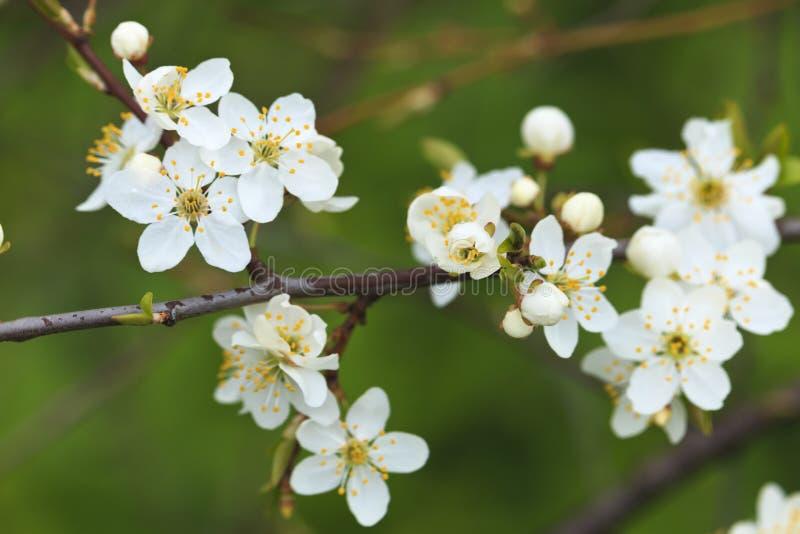 Blommande träd för lös plommon i dagsljus royaltyfri bild