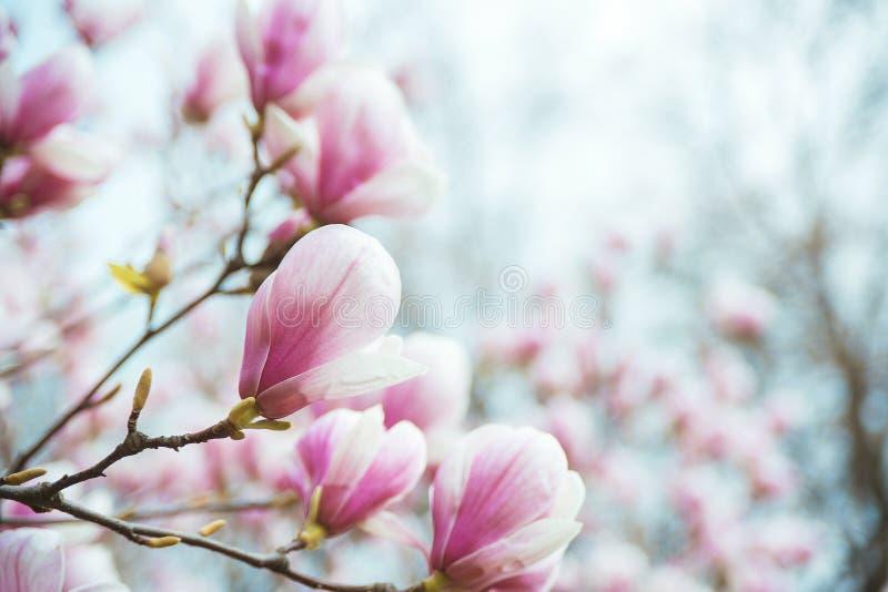 Blommande träd för magnolia på filial över suddig naturlig bakgrund arkivbild