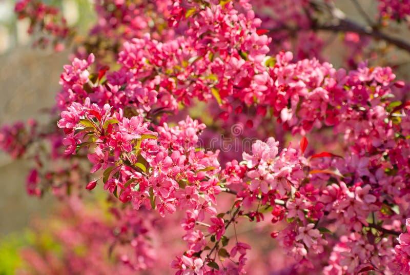 Blommande träd för royaltymalusäpple arkivfoton