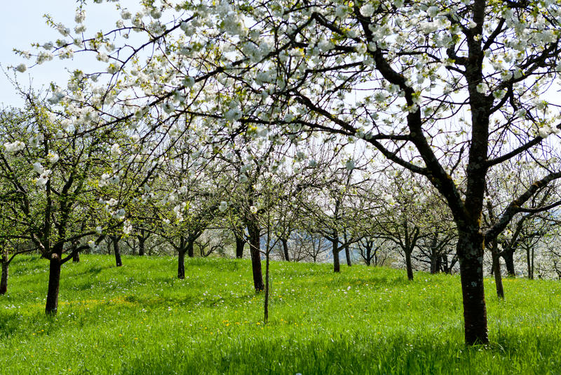 Blommande träd i trädgård i vår fotografering för bildbyråer