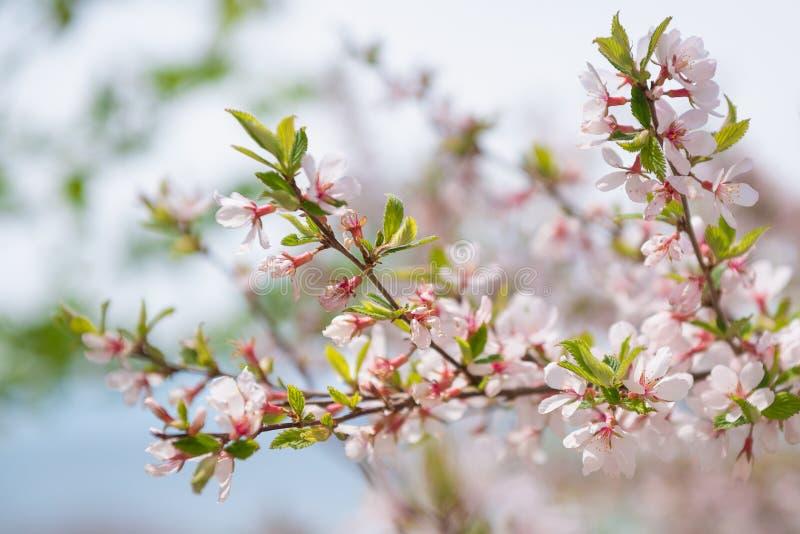 Blommande träd med vita blommor för rosa färger och Vårblomningtema royaltyfria bilder