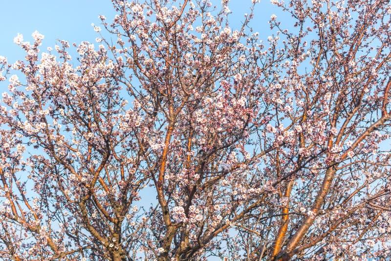 Blommande tr?d p? v?rabstrakt begreppbakgrund royaltyfria bilder