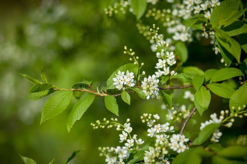 Blommande tr?dCloseup Vita blommor f?r v?r Tr?dfilial som t?ckas med vita blommor och ny l?vverk p? gr?n bakgrund arkivfoton