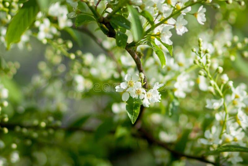 Blommande tr?dCloseup Vita blommor f?r v?r Trädfilial som täckas med vita blommor och ny lövverk på grön bakgrund royaltyfri bild