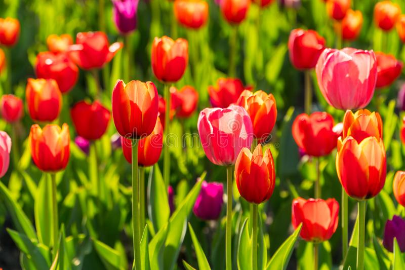 Blommande tulpan för härlig vår på en trädgårds- säng arkivbild