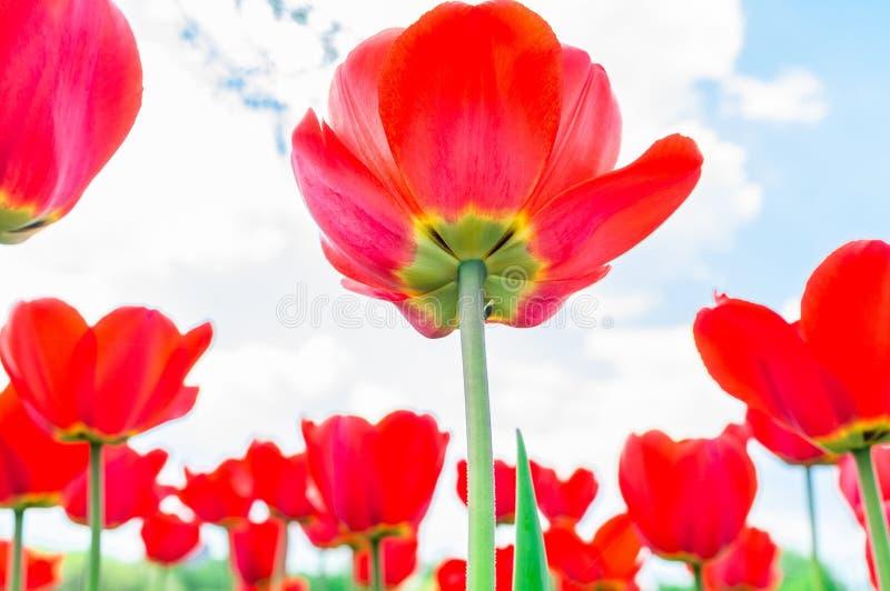 Blommande tulpan i v?r arkivfoton