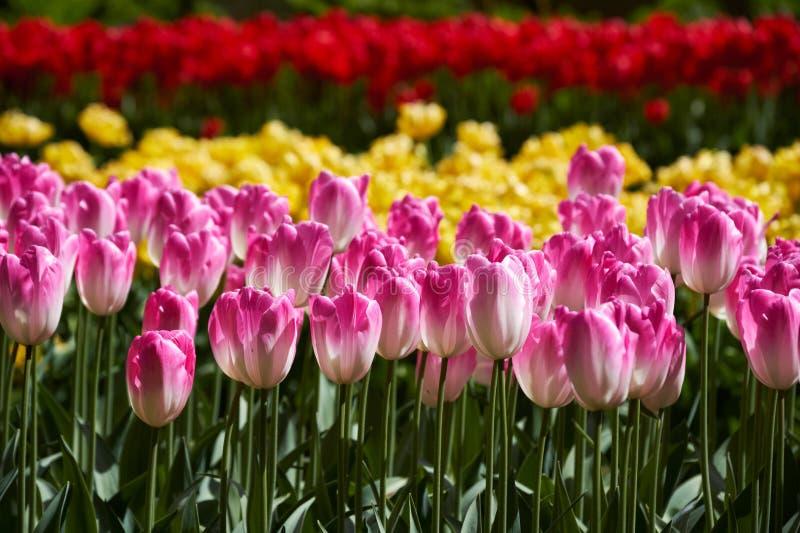 Blommande tulpanblomsterrabatt i den Keukenhof blommaträdgården, Netherland royaltyfri foto