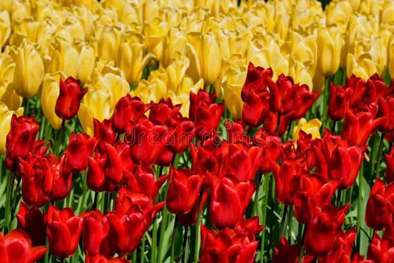 Blommande tulpanblomsterrabatt i den Keukenhof blommaträdgården, Netherland royaltyfri bild
