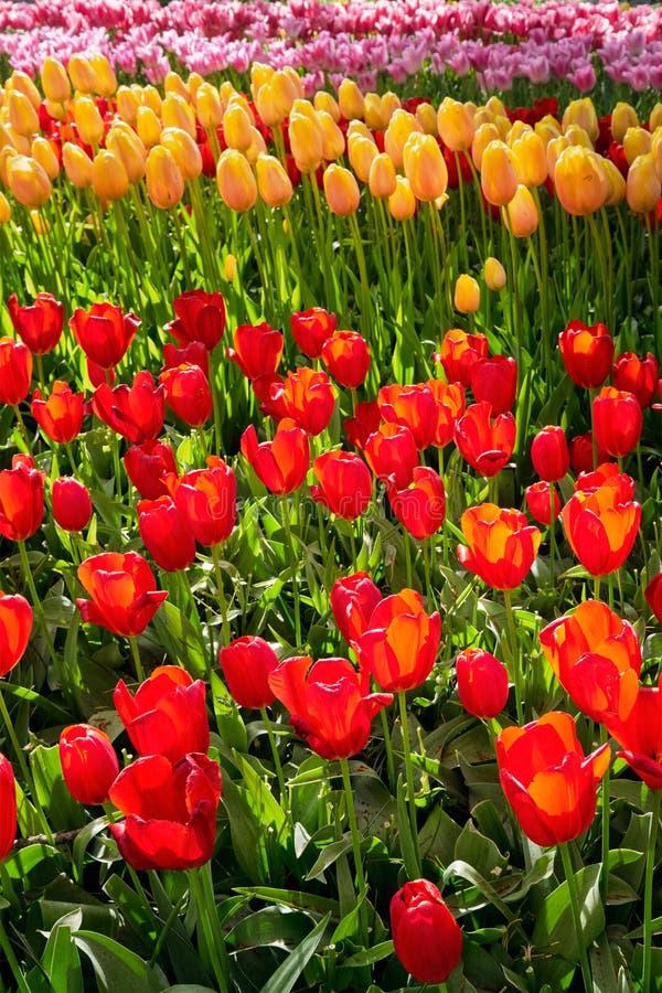 Blommande tulpanblomsterrabatt i den Keukenhof blommaträdgården, Netherland arkivbild