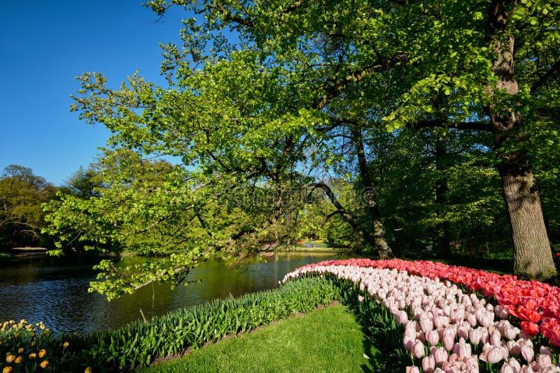 Blommande tulpanblomsterrabatter i den Keukenhof blommaträdgården, Netherlan royaltyfri bild