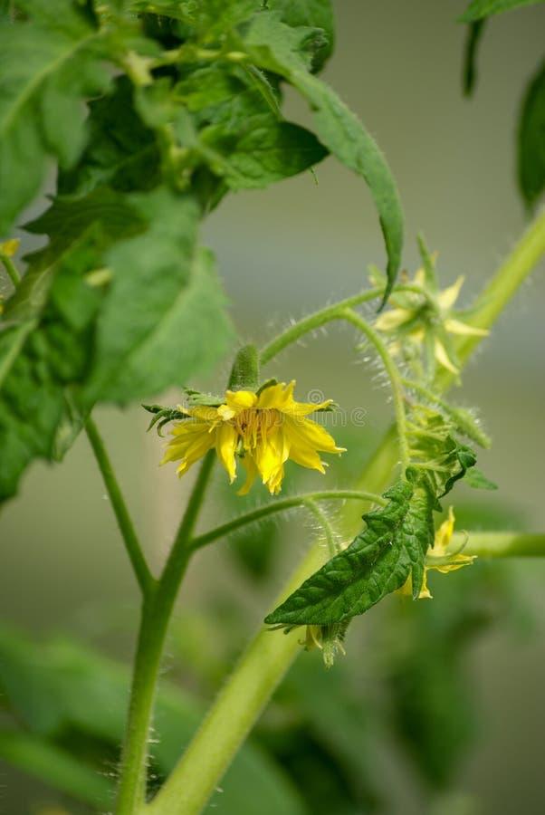 Blommande ung tomat royaltyfri foto