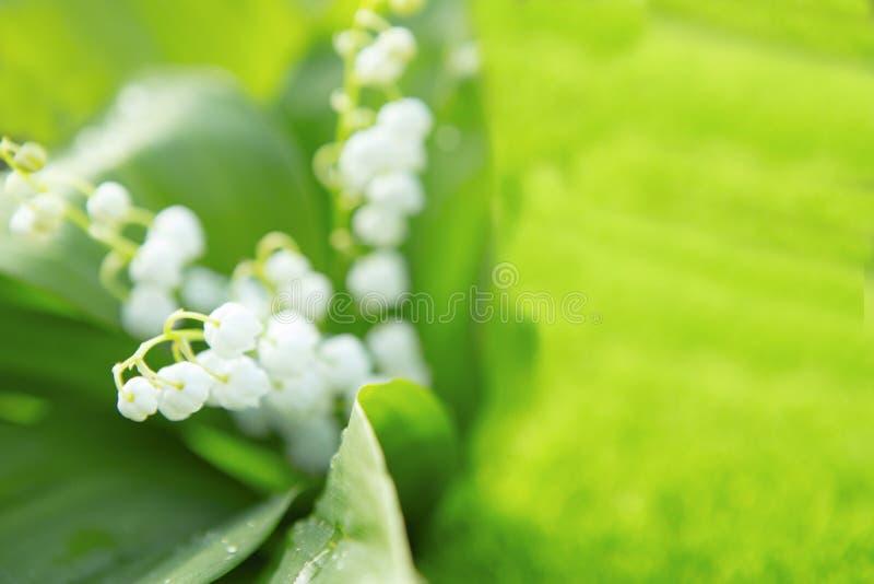 Blommande vårliljekonvalj i solig trädgård för morgon arkivfoton