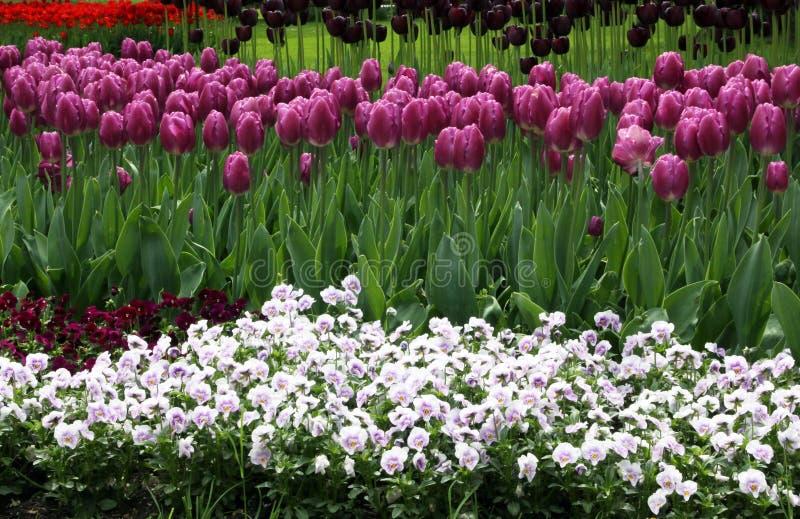 Blommande vårrabatt med tulpan och pansies royaltyfri fotografi