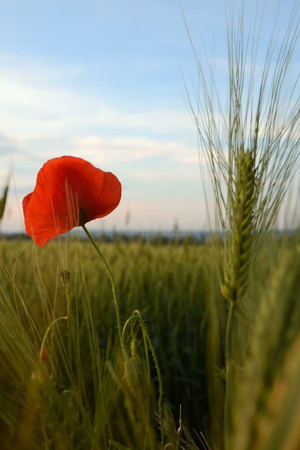 Blommande vallmo i en veteåker arkivbilder