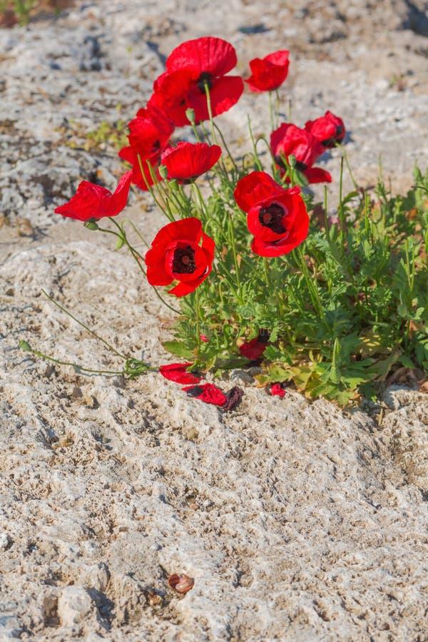 Blommande vallmo på gräs för naturlig bakgrund royaltyfri fotografi