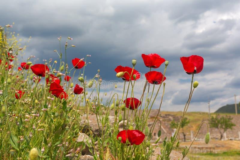 Blommande vallmoblommor på det naturliga gröna fältet arkivfoton