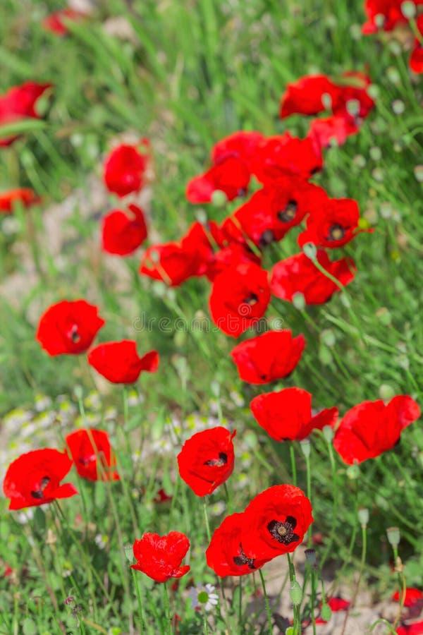 Blommande vallmoblommor på det naturliga gröna fältet royaltyfri fotografi