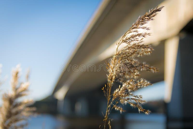 Blommande vass framme av en konkret bro royaltyfri foto
