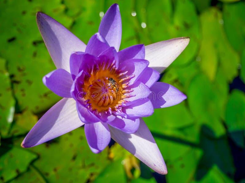 Blommande violet waterlily eller lotusblomma i dammet arkivbilder