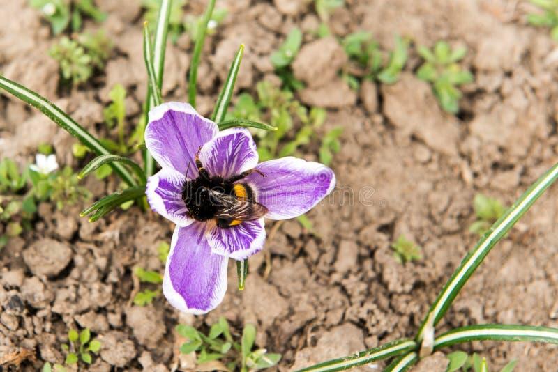 Blommande violetta krokusar i berg Gläntaprimulor sol- ditt för bakgrundsdesignliggande Carpathians Ukraina, Europa Humla p royaltyfria bilder