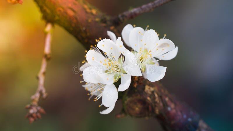 Blommande vit plommonblomma royaltyfri fotografi