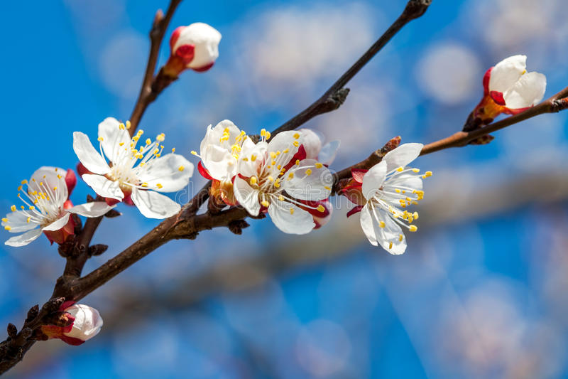Blommande vita blommor på filialen av fruktträdet arkivbilder