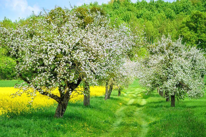 Blommande vitt fält för gränd för äppleträd och gulingcanola royaltyfri foto