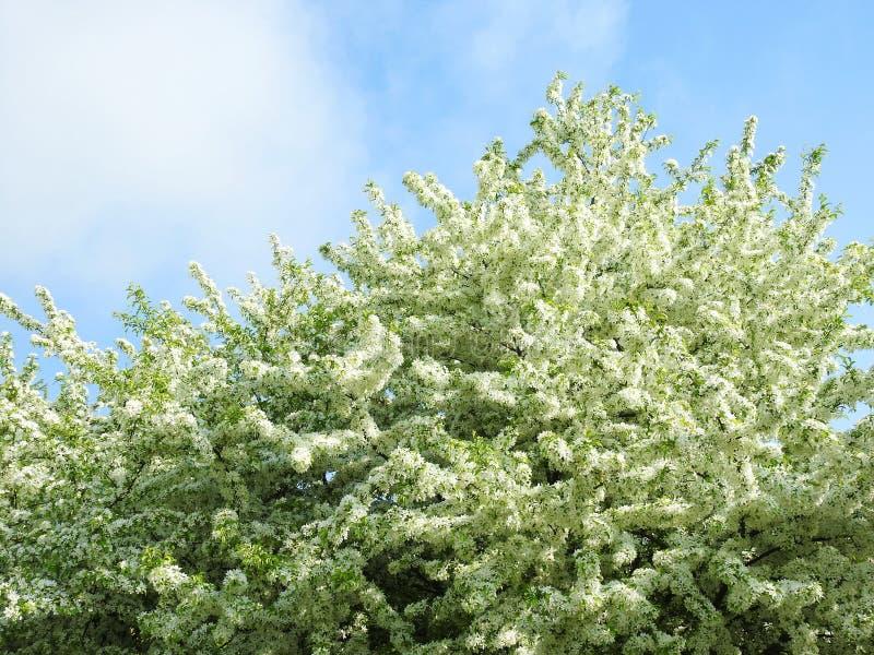 Blommande vitt plommonträd i våren, Litauen arkivbilder