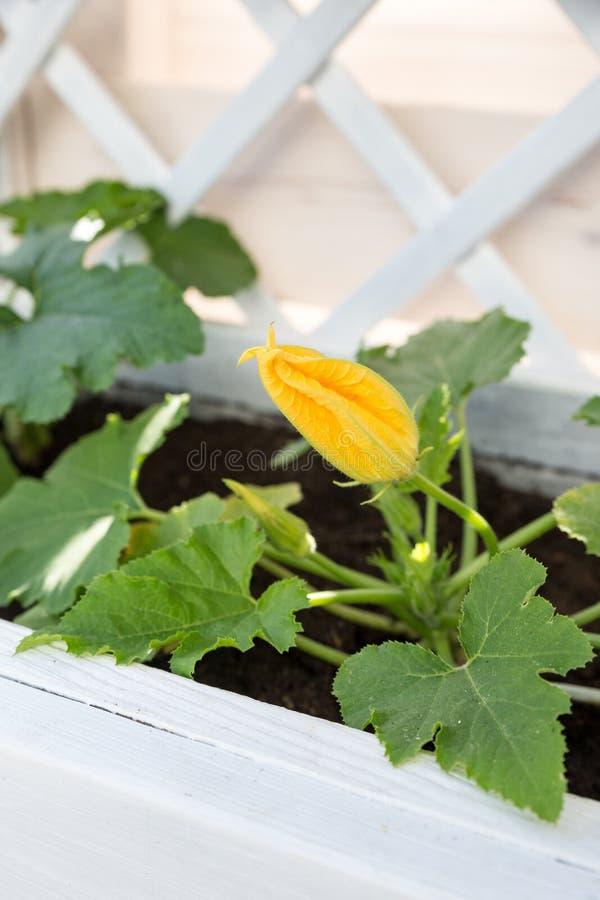 Blommande zucchiniväxt i lönelyftsäng fotografering för bildbyråer