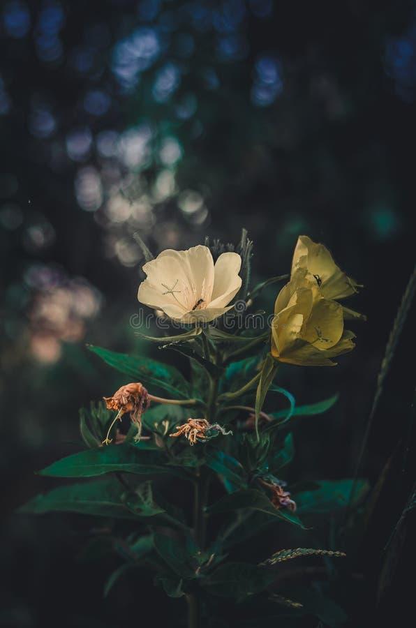 BlommaOnagraceaecloseup Vit och gul blommacloseup i tappningstil vildblommar slapp fokus royaltyfria bilder