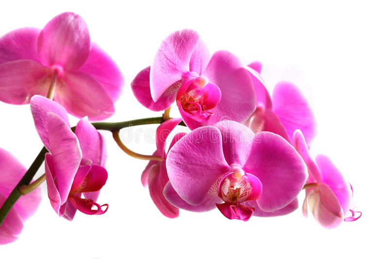 blommaorchidphalaenopsis royaltyfri bild