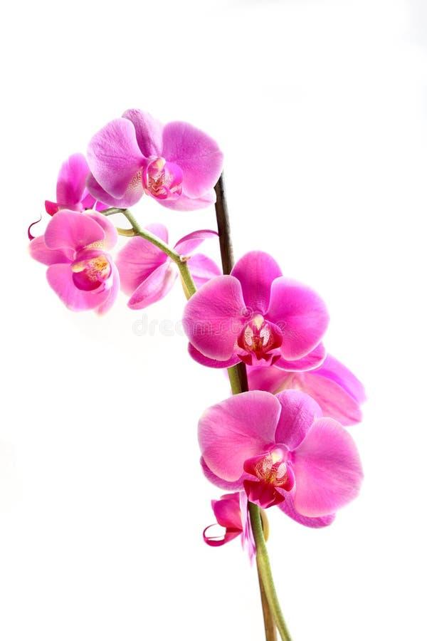 blommaorchidphalaenopsis arkivbild