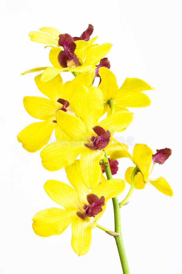 blommaorchids royaltyfri bild