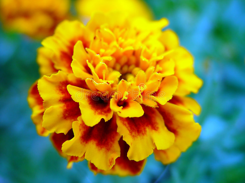 blommaordinary royaltyfri bild