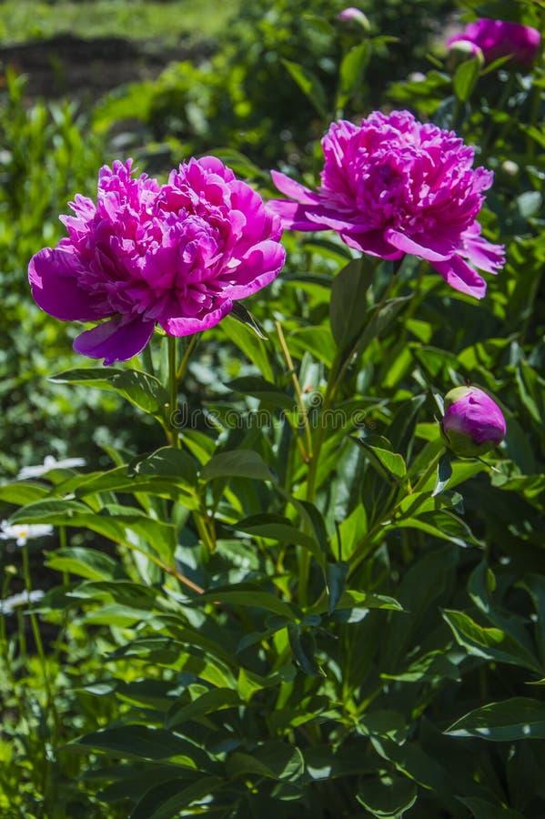 BlommaPaeonialactiflora arkivbild