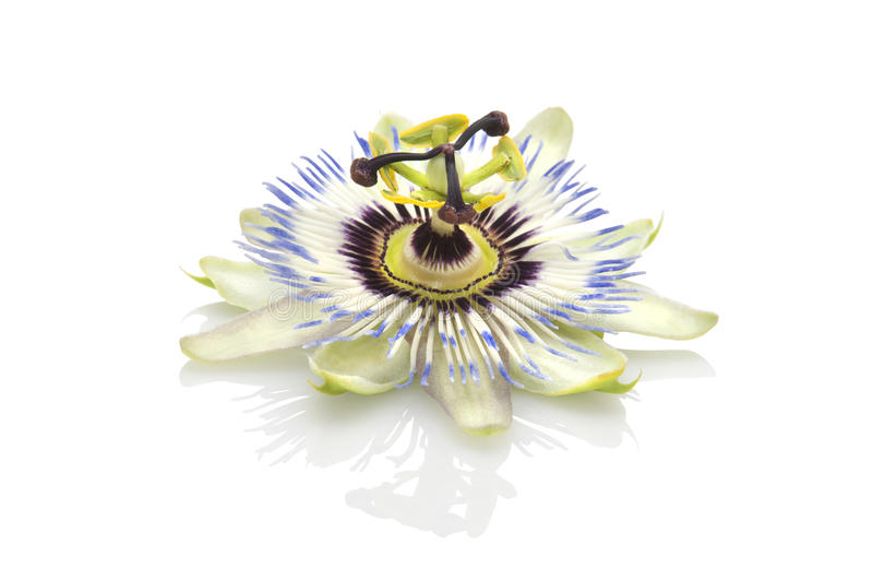 blommapassiflorapassion royaltyfri bild